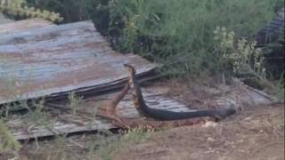 Cottonmouth and Copperhead Combat