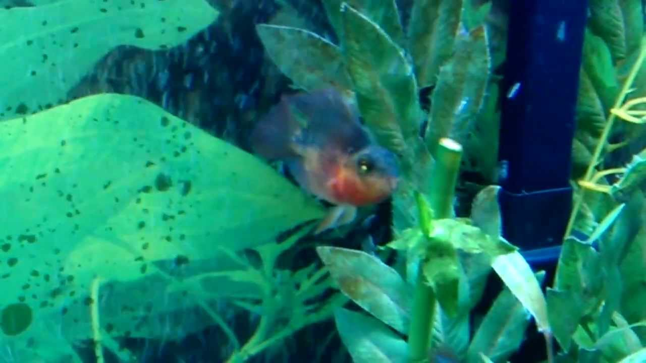 Parrot fish starting to change colors - YouTube