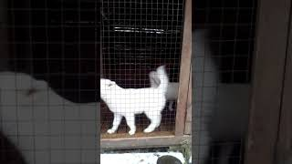 Аляскинский маламут, белые девочки для продажи!