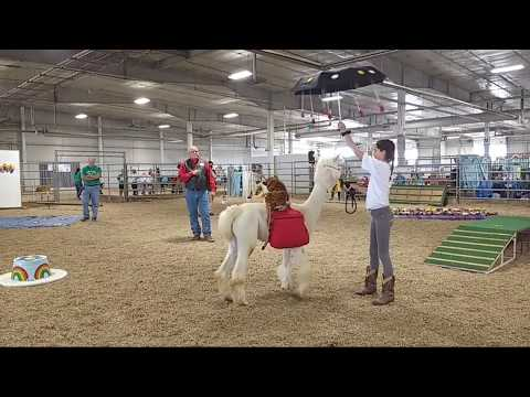 2019Lancaster County Super Fair - 4-H Llama/Alpaca Show