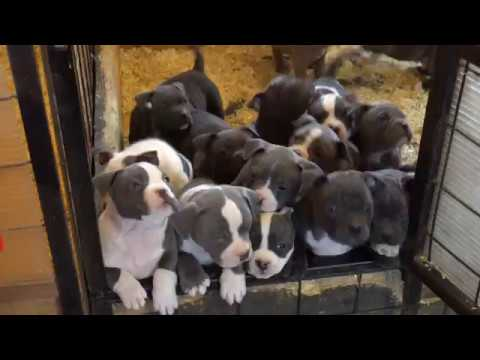 BEST AMERICAN BULLY POCKET PUPPIES