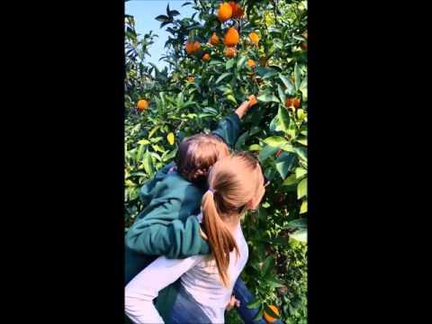 Harvesting Our Organic Oranges