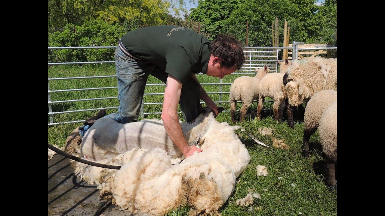 sheep shearing, milking goats, angora goats for sale ... Raising Goats