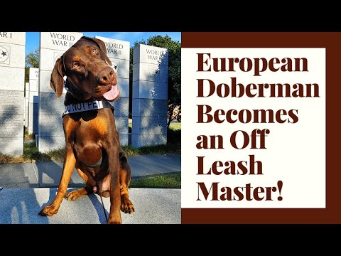 Knoxville Dog Trainers - 9 Month Old European Doberman Becomes an Off Leash Master!