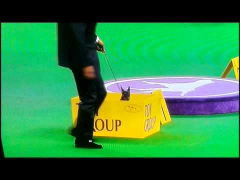 Funny Manchester Terrier jumps into box in dog show