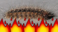 Stinging Caterpillar Becomes Ant Colony Food Flamethrower Pest Control BBQ Bugs