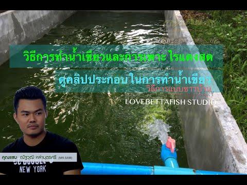 สอนวิธีการทำ น้ำเขียว และการเพาะ ไรแดง ของ Lovebettafish Thaialnd คลิปที่ 1
