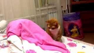 Кот мило шипит на пылесос