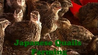 Japanese Quails Farming