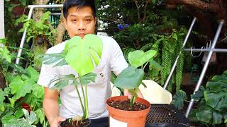 แนะนำมอนสเตร่าคอมแพ็ค (Monstera) - สวนข้างบ้านฉัน ep29