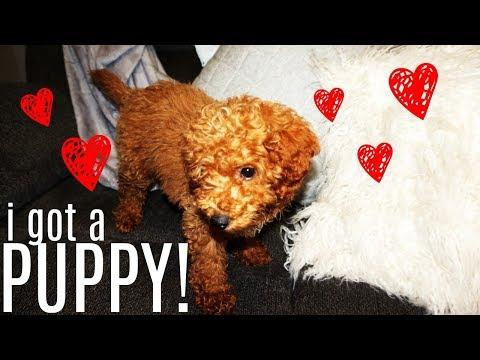 I GOT A PUPPY VLOG!!! (mini poodle) l AmirahLee