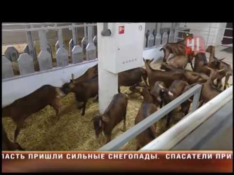 Сырные козы