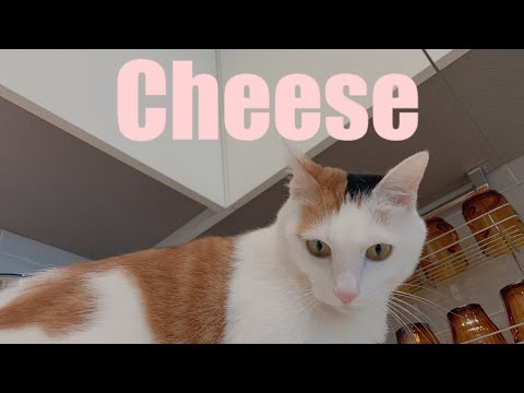 [Eng] 집사 노래에 꼬리 흔들어주는 고양이•Cheese Moves Her Tail In Response To Servant's Song!