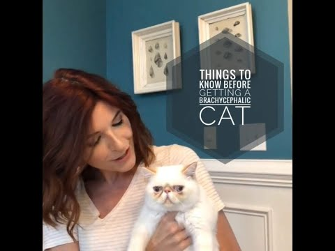 Brachycephalic (Flat or Smoosh Face) Cats - Special Considerations