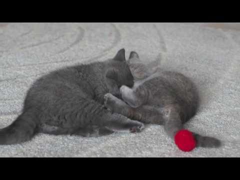 Британским котятам 3 мес. http://gala-cat.ru