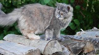Nuance Maine Coon Blue Tortie Smoke Youtube