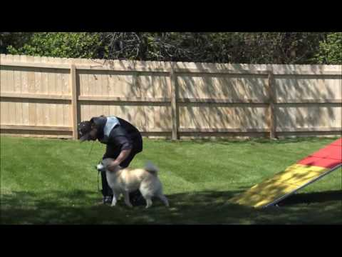 Niko (Norwegian Buhund) Boot Camp Dog Training Video