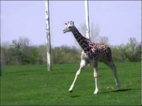 "African Lion Safari Announces baby ""Safari"""