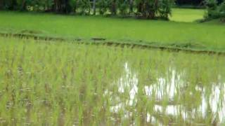 Traditional Rice Farming in South India
