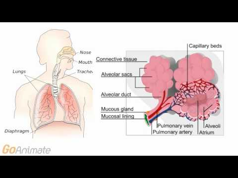 Anatomy and Physiology: Respiratory System: Surface Tension (v2.0)
