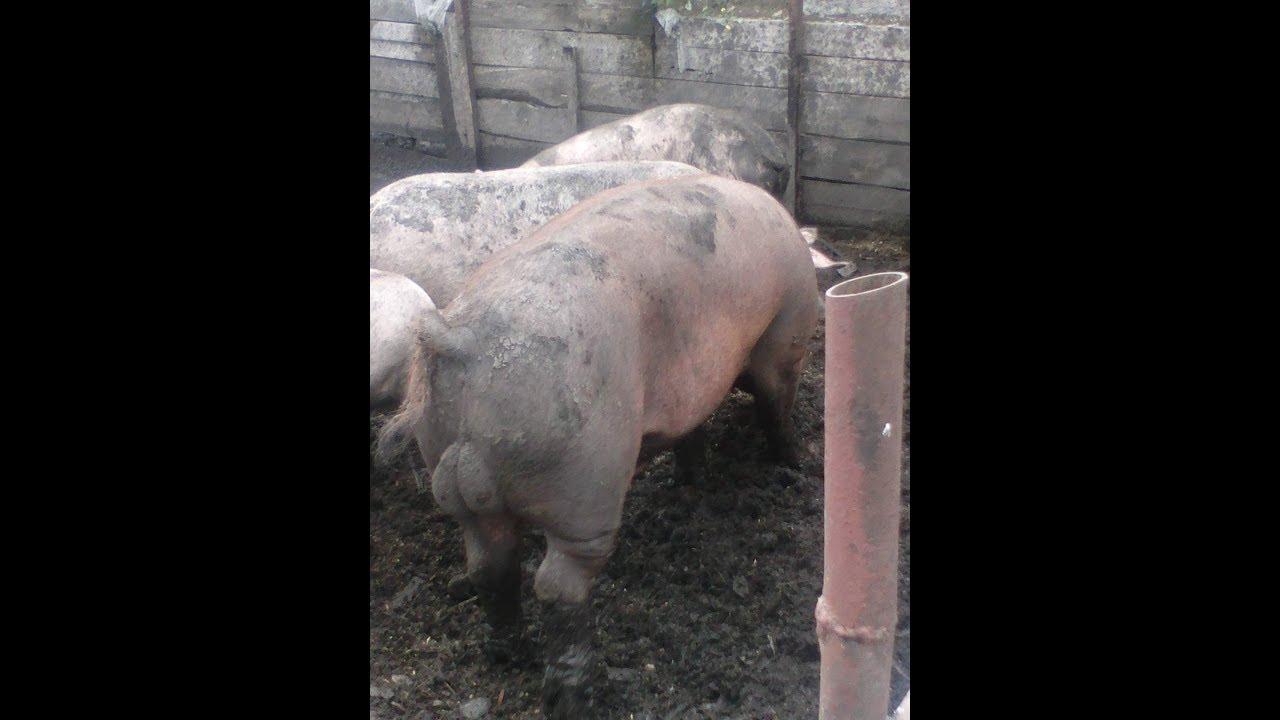 Свиноводство. Снижение трудозатрат. Свиноферма без запаха.