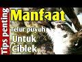 Telur Puyuh Untuk Ciblek  Mp3 - Mp4 Download