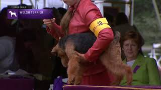 Welsh Terriers | Breed Judging 2021