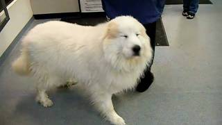 great pyrenees going in for a grooming make over, before picture