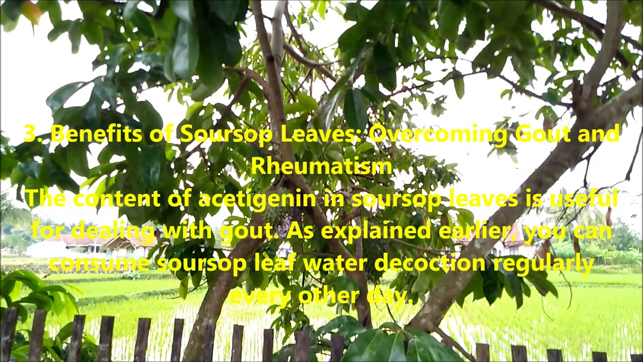 4 Benefits Of Soursop Leaves With Side Effects That Need ...