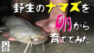 野生のナマズを卵から育ててみた thumbnail