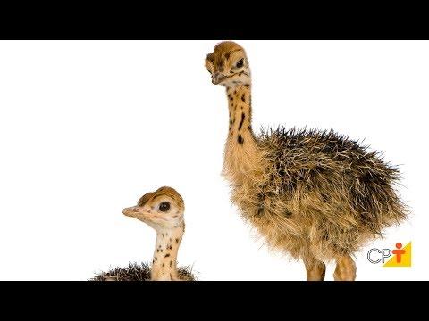 Curso a Distância Avestruz - Reprodução, Cria e Recria