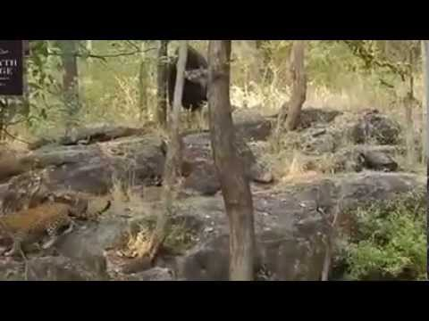 Leopard vs Gaur
