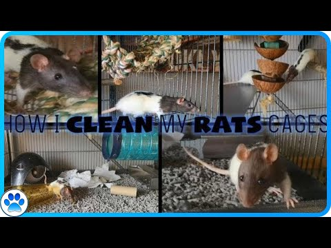 How I Clean My RATS Cages | Step By Step