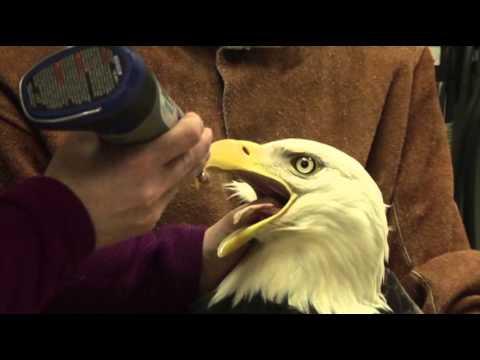 Rehabilitated Eagles Released Into Alaska Wild