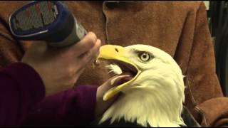 Rehabilitated Eagles Released Into Alaska Wild