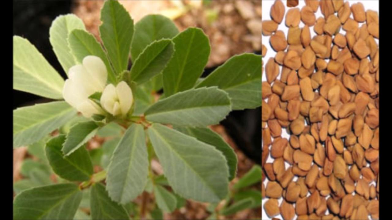 Çemen Otu Tohumu Çayı Nasıl Yapılır Resimli Tarif