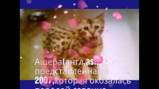 КотоЗнания–Ашера самая дорогая кошка .