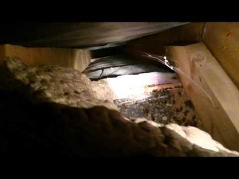 Massive Wasp Hive in the Attic! & Massive Wasp Hive in the Attic! - YouTube