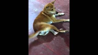Video Funny Dog from Sorong - Papua download MP3, 3GP, MP4, WEBM, AVI, FLV Agustus 2018