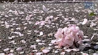 風に舞うサクラの花びら