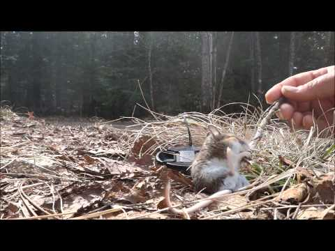Injured / Sick Deer Mouse