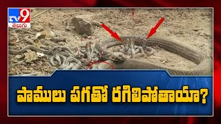 Snakes take sweet revenge ! - TV9