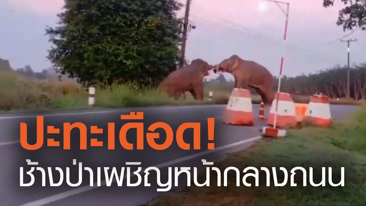 ระทึก! ช้างป่าตกมันฟาดงวงกันกลางถนน | TNN ข่าวเย็น | 22-11-63
