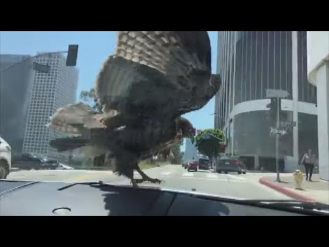 Adam Rivers - Hawk stares at driver while going for a ride on the windshield