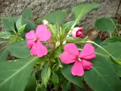 Flor Beijinho Meu Jardim Youtube