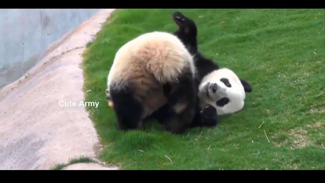 ESPECIAL PANDAS! Los Videos Mas Tiernos Y Bonitos Del