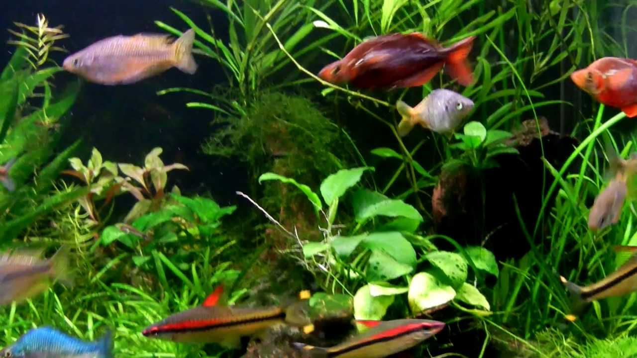 planted rainbowfish aquarium feeding youtube