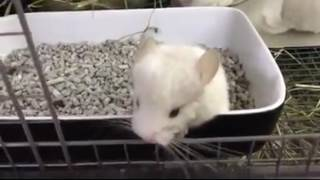 Baby chinchillas playing. Cute and funny animals compilation. Chinchillas family.