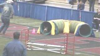Border Terrier In Open Agility