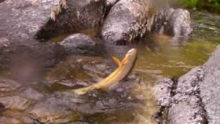 Cutthroat Trout Fly Fishing Cayuse Creek